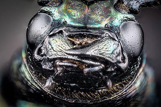 Head of ground beetle by Libor Vrska