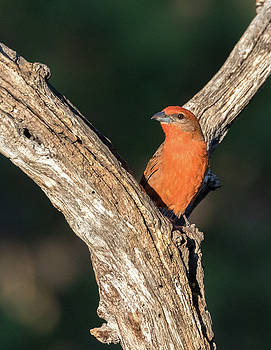 Hepatic Tanager by Dee Carpenter