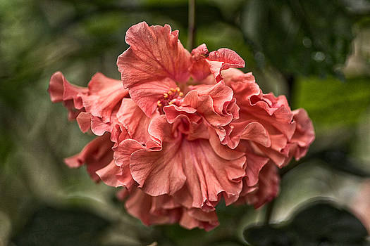 Hibiscus by Byron Fair