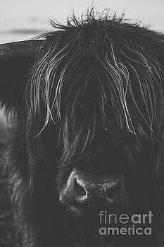 Highland cow on the farm by Rob D
