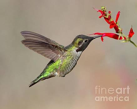 Humming bird by Irina Hays