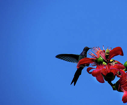 Hummingbird by Cesar  Vieira