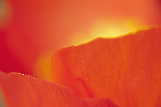 Iceland Poppy by Silke Magino