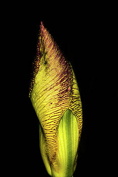 Iris by Jay Stockhaus