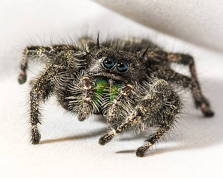 Jumping Spider Macro by Noah Katz