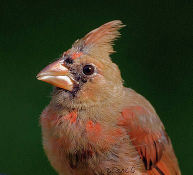 Juvenile Male Cardinal by Diane Giurco