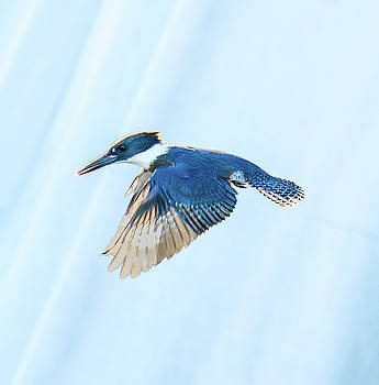 Kingfisher by Jerry Cahill