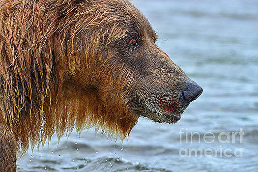 Dan Friend - Large brown bear with telltale signs of salmon on his mouth
