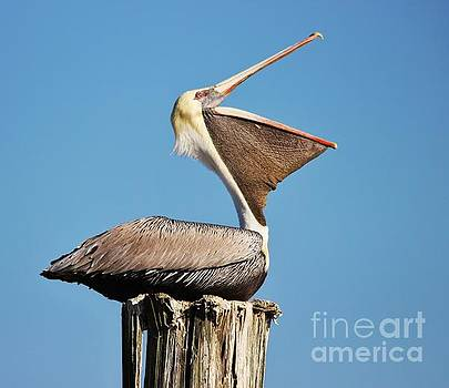 Paulette Thomas - Laughing Pelican