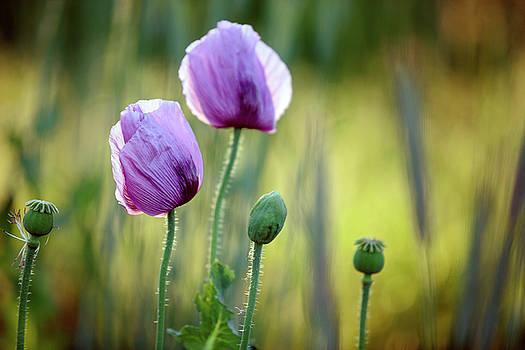Lilac Poppy Flowers by Nailia Schwarz