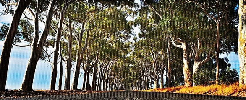 long Eucalyptus Avenue by Werner Lehmann