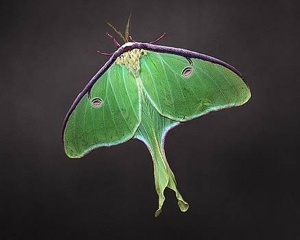 Joe Duket - Luna Moth