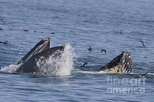 California Views Mr Pat Hathaway Archives - lunge-feeding humpback whales