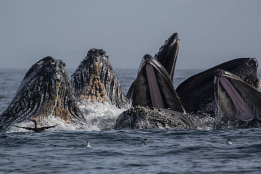 Lunge-Feeding Humpback Whales in Monterey Bay by Don Baccus