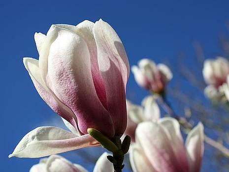 Anne Babineau - magnolia