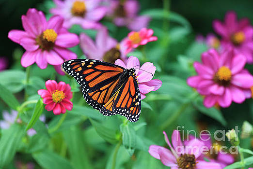 Monarch Butterfly by Jill Lang