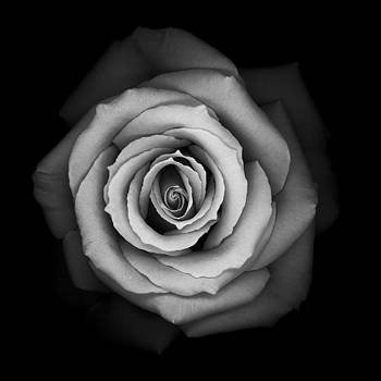 Monochrome Rose by Oscar Gutierrez