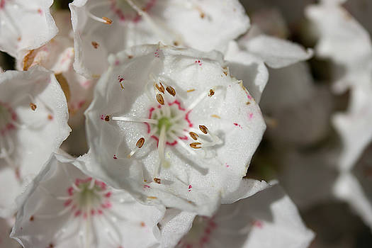 Mountain Laurel Close-up by Mark Michel