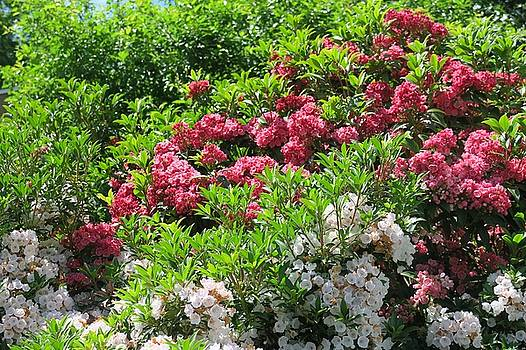 Mountain Laurel by Sandra Bourret