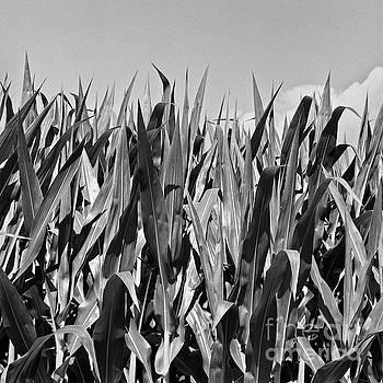 New Corn by Patrick M Lynch