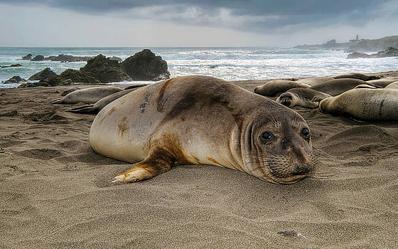 Northern Elephant Seal  mirounga angustirostris by Eyal Nahmias