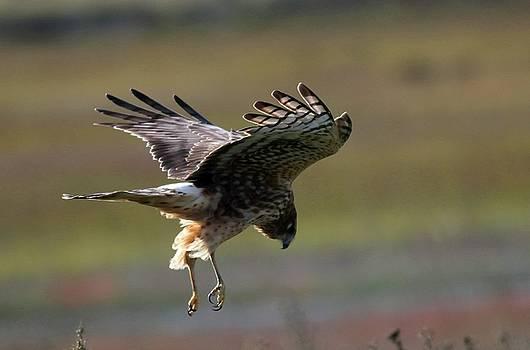 Northern Harrier by Elka Lange