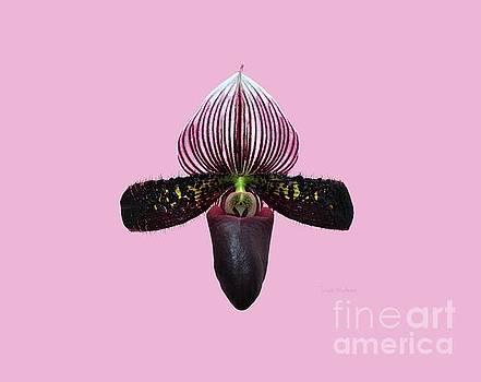 Susan Wiedmann - Orchid Paphiopedilum Satchel Paige x Black Beauty 2