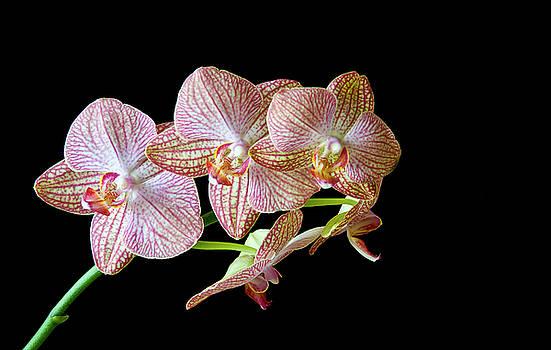 Michalakis Ppalis - Orchid phalaenopsis flower