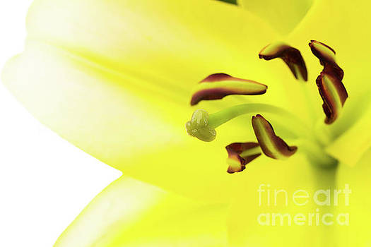 Oriental Lily Flower by Raul Rodriguez