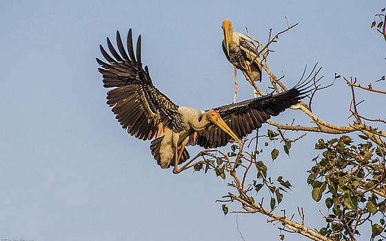 Painted Stork  by Manjot Singh Sachdeva