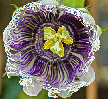 Dee Carpenter - Passion Flower