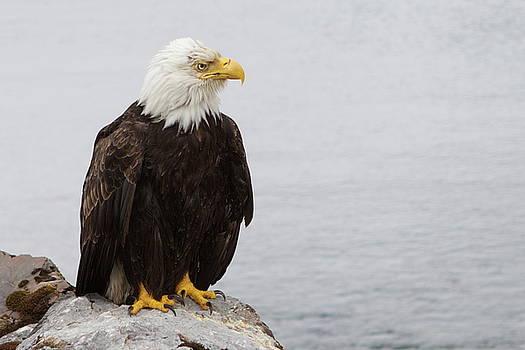 Brandy Little - Perched Bald Eagle
