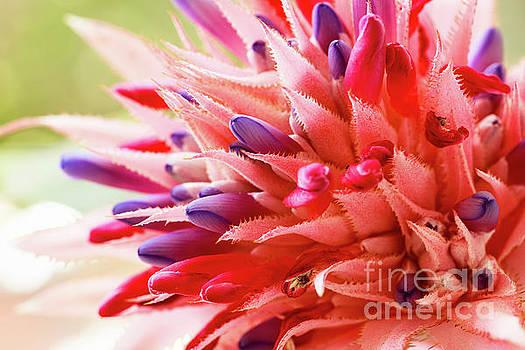 Pink Bromeliad Flower by Raul Rodriguez