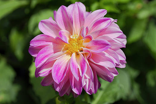 Pink Dahlia by Mark Michel