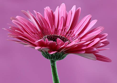 Mahesh Balasubramanian - PInk Flower