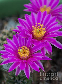 Pink Hedgehog Cactus Flower by Michael Moriarty