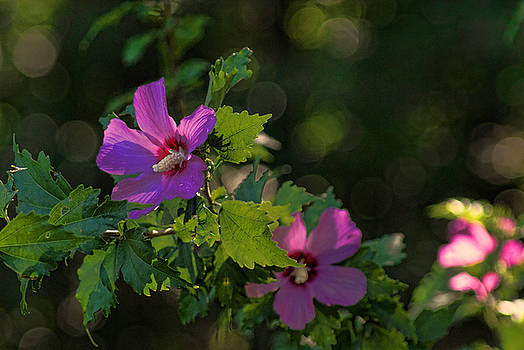 Pink Rose of Sharon by Rick Friedle