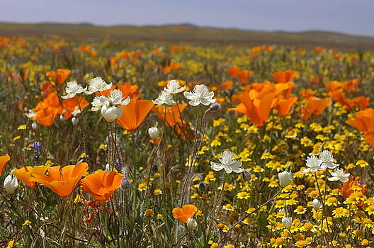Poppies by Larry Holt