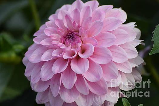Fancy Pink Dahlia by Jeannie Rhode