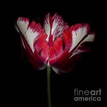 Oscar Gutierrez - Red and White Parrot Tulip