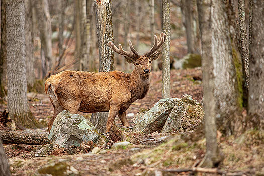 Red Deer by Eunice Gibb