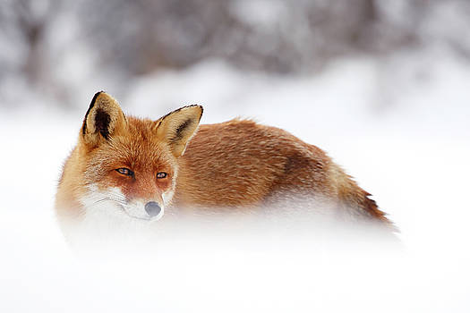 Red Fox in the Winter by Roeselien Raimond