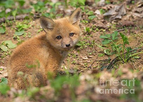 Red Fox kit by Joshua Clark