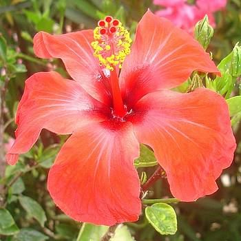Red Hibiscus by Tracey Harrington-Simpson