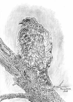 Red-Shouldered Hawk by Barry Jones