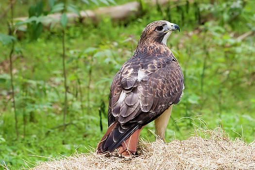 Jill Lang - Red Tailed Hawk