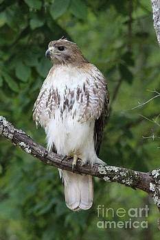 Paulette Thomas - Red Tailed Hawk