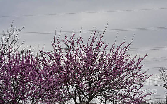Redbud Blooming  by Ruth Housley