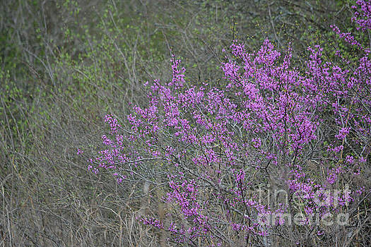 Redbud Tree Blooming  by Ruth Housley