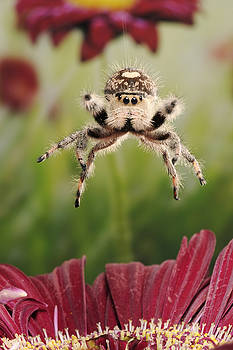 Regal Jumping Spider Jumping by Scott  Linstead